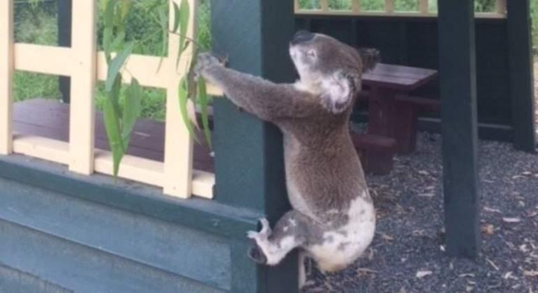 koala-muerto-facebook-koala-rescue-queensland.jpg