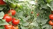 tomates-almeria.jpg