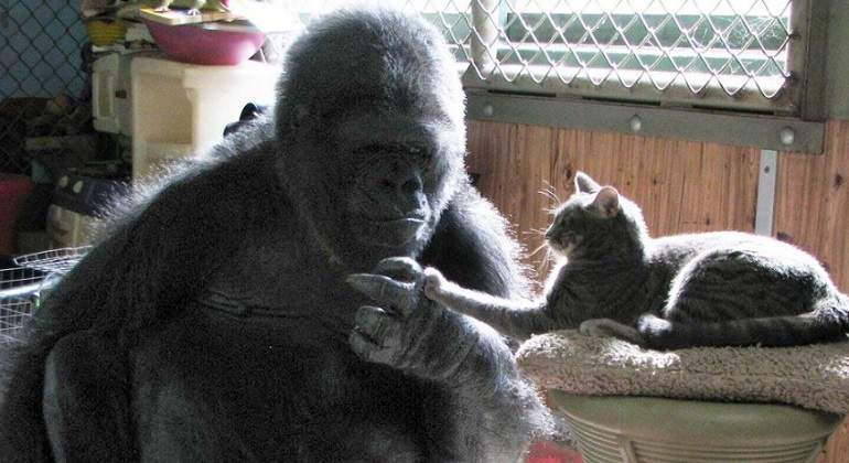 gorilas-fundation-770-420-koko.jpg