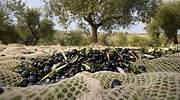 aceitunas-olivar-istock-770x420.jpg