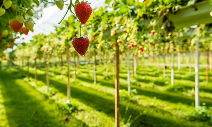 fresas-invernadero-holanda.jpg