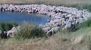 Agricultura dará ayudas directas para los ganaderos de ovino y caprino ante su crítica situación