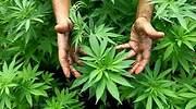 marihuana-770420.jpg