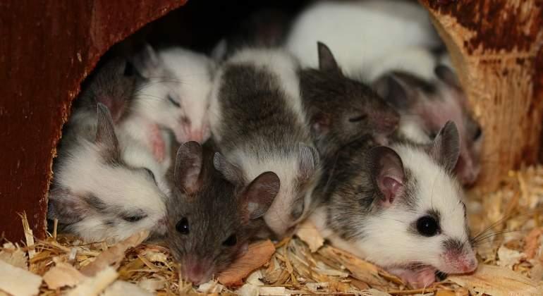 Ratones laboratorio