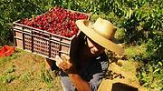 cerezas-fruta-chile-archivo.png