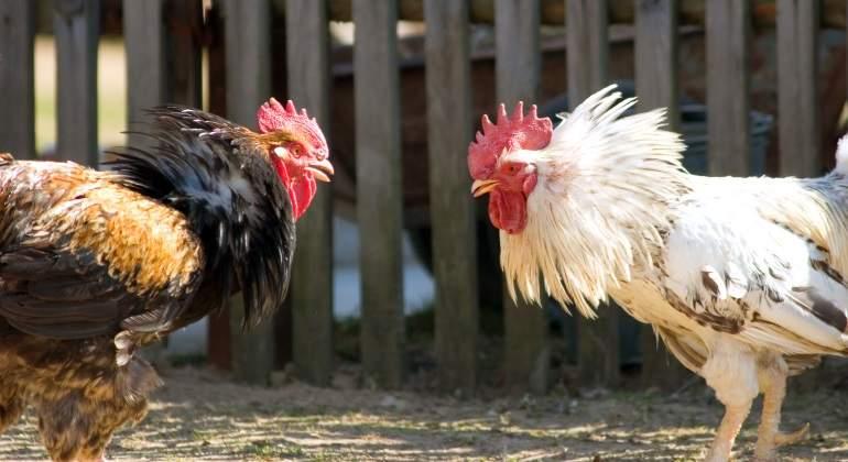 Detenidas cerca de 200 personas en una redada contra las peleas de gallos en Murcia