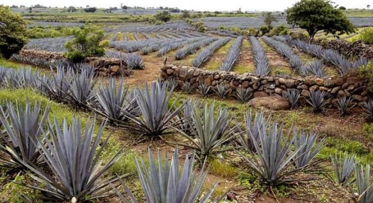 planta-tequila.jpg
