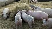 cerdos-granja-ep.jpg
