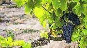 uvas-viñedo-770.jpg
