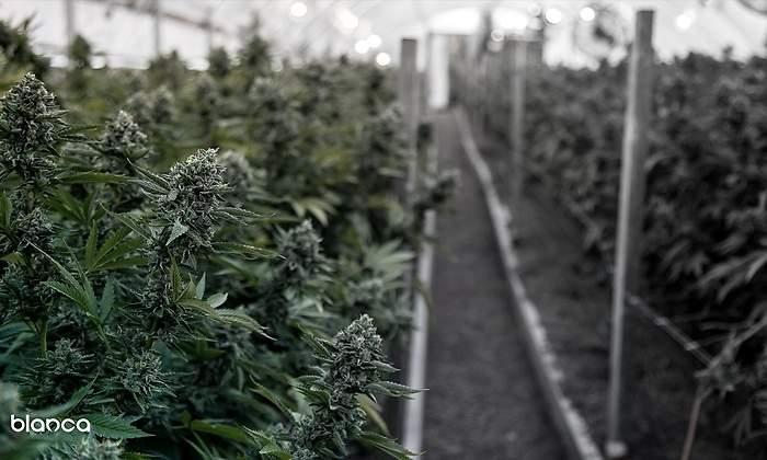 australiana-doña-blanca-invertirá-us2-millones-en-negocio-de-cannabis-medicinal-en-colombia