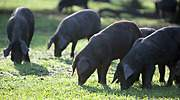 cerdos-ibericos-bellotas-campo-770.jpg