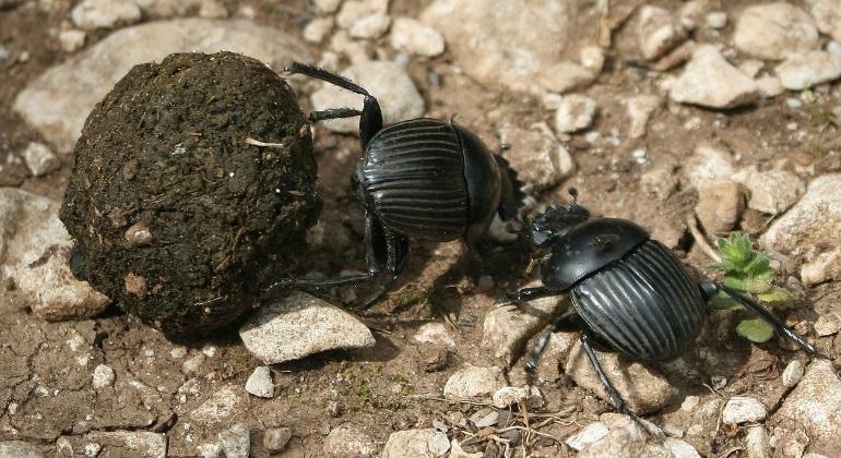 Los escarabajos del esti�rcol evolucionaron con los dinosaurios