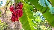 platano-banana-rojo-1.jpg