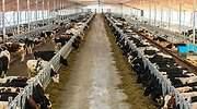vacas-danone-granja-tyumen-rusia-bloomberg.jpg