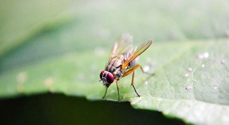 El sexo incompleto aboca a la mosca de la fruta al alcohol