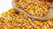 maiz-amilaceo.jpg