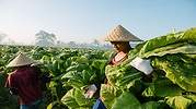 tabaco-british-american-agricultor.jpg