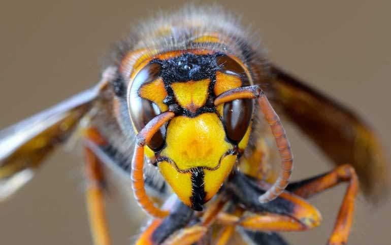Los mitos y verdades sobre las avispas