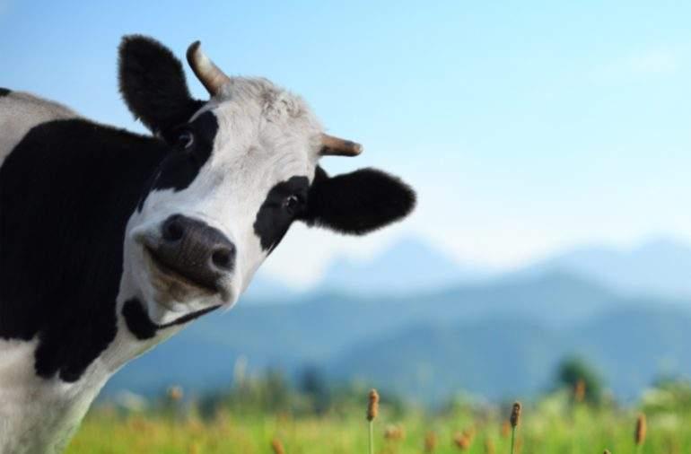 vaca-frisona-paso-vaca-coruna.jpg