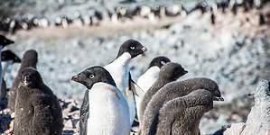 Pingüinos portadores de influenza podrían haberse infectado por patos