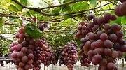 Exportación de uvas de mesa crecerá 16% en campaña 2020-2021